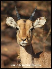 Young Impala ram