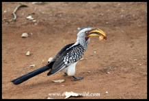 Southern Yellow-billed Hornbill