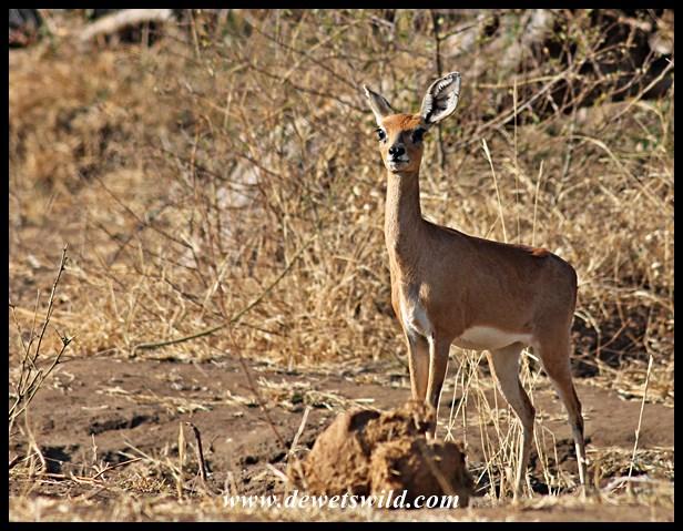 Steenbok (10)