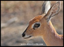 Steenbok close-up