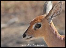 Steenbok close-up