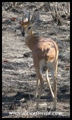 Steenbok Ram