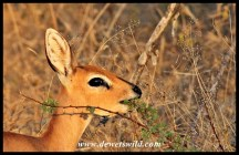 Steenbok feeding