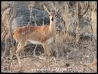 Steenbok ewe