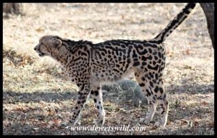 King Cheetah at the Hoedspruit Endangered Species Centre