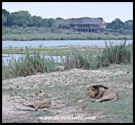 Lion love at Lower Sabie