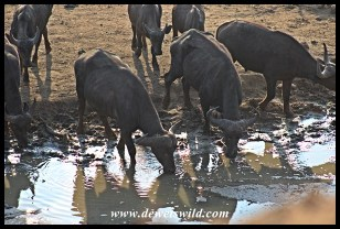 Waterhole rivalry (11)