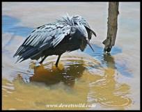 "Black Heron ""canopy feeding"""