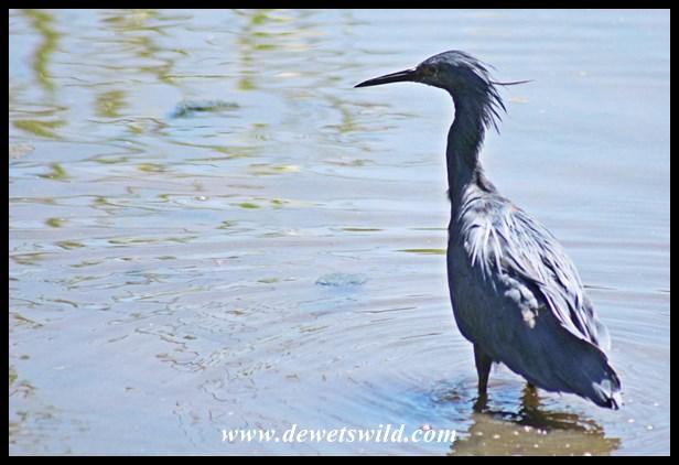 Black Heron (8)