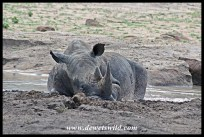 White Rhino lazing in a cool mud pool