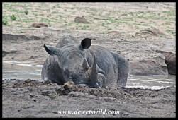 White Rhino lazing in a cool mud pool