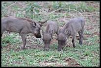 Cute warthog piglets