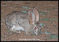 Scrub hares are often seen in the early morning
