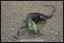 The heat taking its toll - a chameleon burned to death on the road