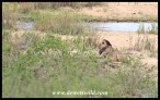 Lion lying on the river bank