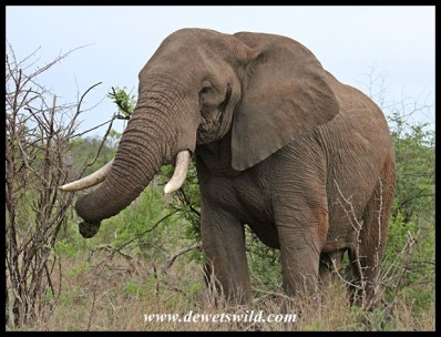 Elephant bull in musth