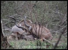 Sleepy kudu