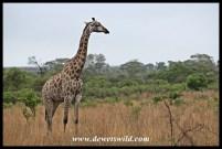 Giraffe under heavy skies
