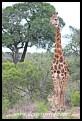 Towering giraffe