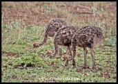 Ostrich siblings