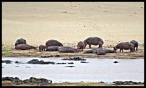 Pod of hippos in the bed of the Olifants