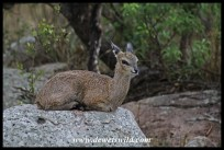 Klipspringer ewe enjoying the drizzle