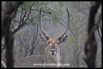 Wet waterbuck