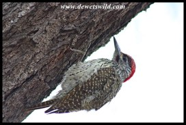This trusting Golden-tailed Woodpecker distracted us from our breakfast at Tshokwane