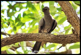 Grey Go-away-bird hiding from the heat in a shady Lower Sabie tree