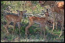 December is the time for baby impalas!