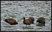 White-faced Whistling Ducks