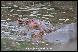 Another pod of hippos at the Ngotso weir