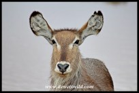 Waterbuck close-up