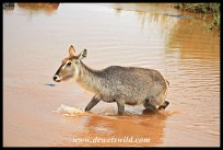 Showing just how the waterbuck got its name!