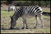 Zebra grazing on new growth next to the Letaba