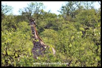 Giraffe in the mopane