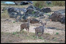 Two kudu bulls in the bed of the Letaba