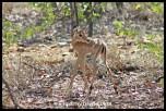 Baby impala in the mopane scrub