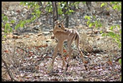 Baby impala in the mopane scrub