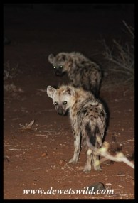 Two very coy young hyenas