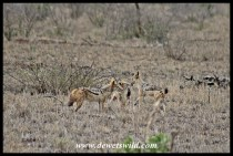 Playful jackal pups