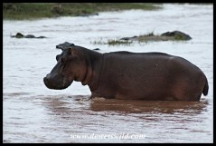 Hippo posturing at the Balule causeway
