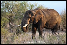Another lone old tusker