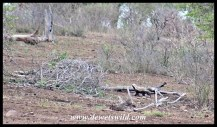 Honey badger on the hunt