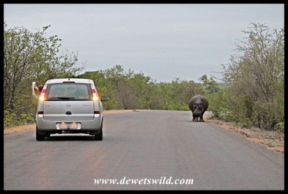 The hippo, the hyena and the waiting tourists