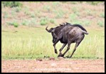 Perhaps dung doesn't stick to a rolling wildebeest...