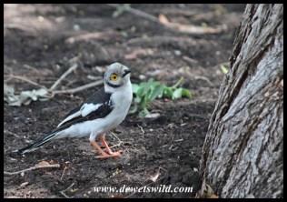 White-crested Helmetshrike