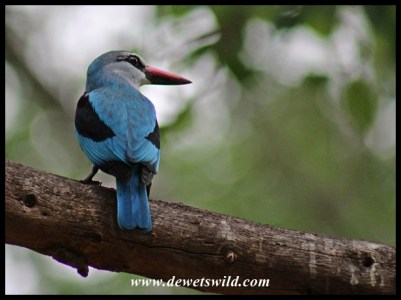 Woodland Kingfisher in Letaba