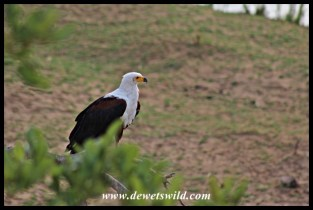African Fish Eagle on the Letaba River