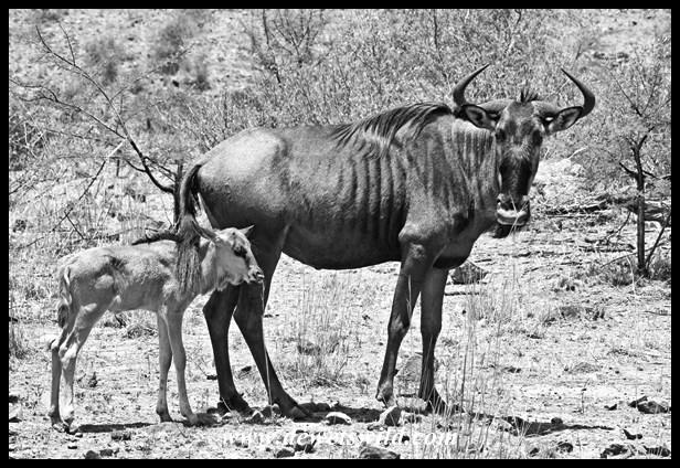 Pilanesberg 29122015 (10)